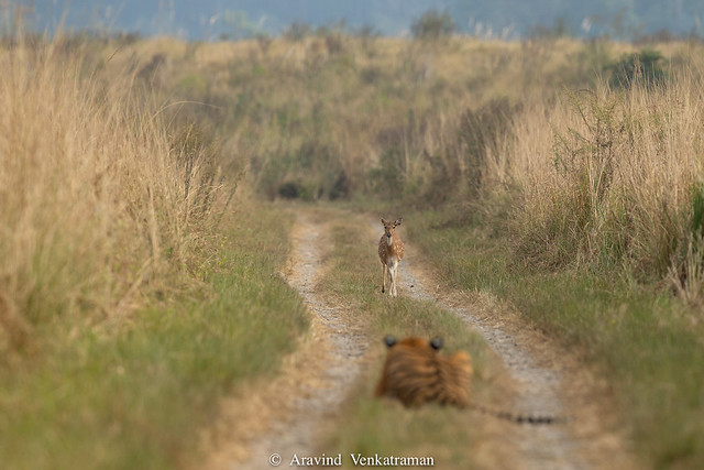 Grassland Tiger - Deer in focus