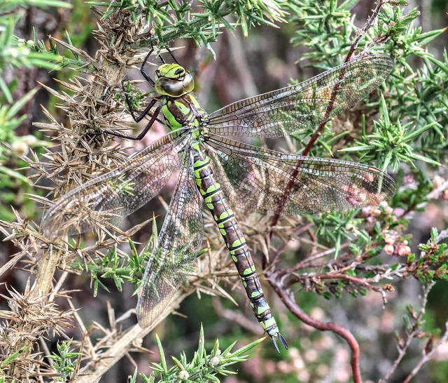 ... Southern Hawker FM.... grenna lane Carnon valley nature reserve, Cornwall. England... 03/10/2019