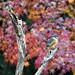 Kingfisher in Autumn