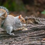 Grey Squirrel enjoying his lunch ! - Dec. 2019