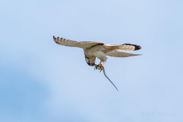 Nankeen Kestrel 1 (Falco cenchroides)