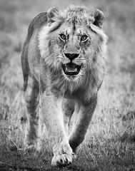 Rampant Lion, Masai Mara