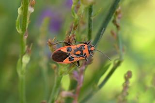 Corizus hyoscyami - Cinnamom Bug