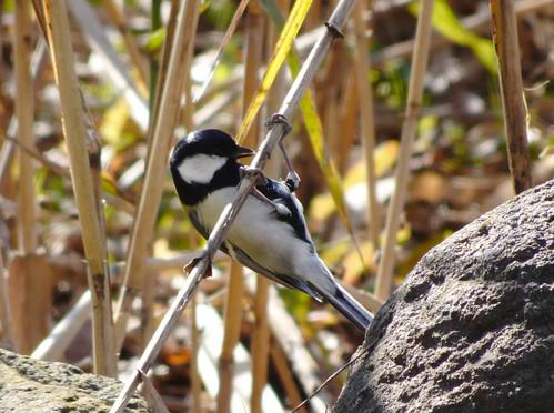 埼玉県さいたま市見沼自然公園の野鳥・シジュウカラ