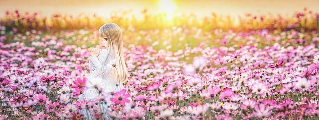 秋桜の輝き