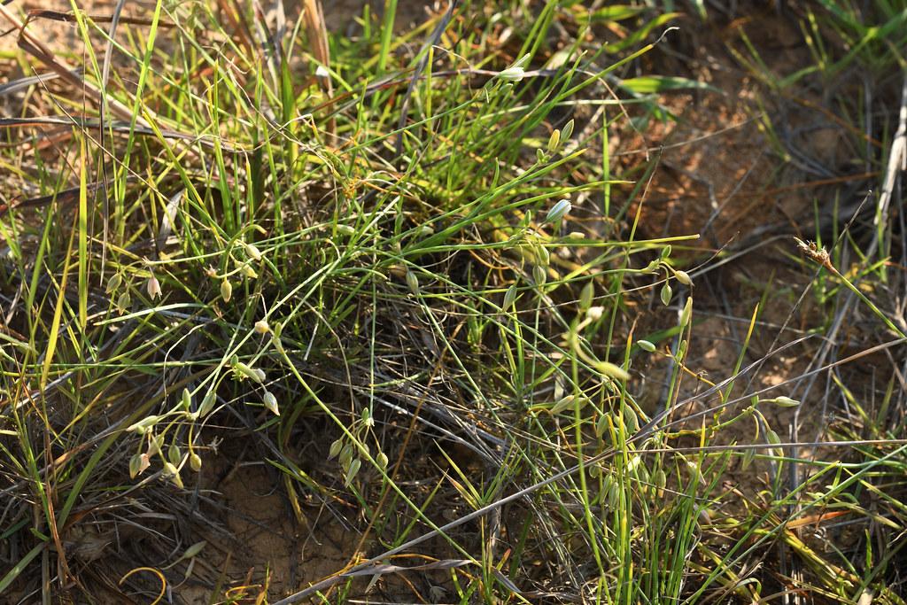 異蕊草開花時花葶常長過於葉,每個花序常五至十朵小花聚集,排列成總狀或圓錐花序,再壓縮呈傘形花序狀。圖片來源:王偉聿