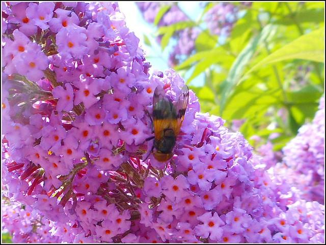 Bee on a Buddleia Bush ...