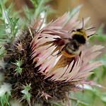 Di, 24.09.19 - 11:29 - Moosalp, Wallis, Schweiz  Vermutlich Carlina Acaulis / Silberdistel (Wetterdistel, weil sie Luftfeuchtigkeit durch Schliessen der Blüte anzeigt, schon mehrmaliges Anhauchen genügt => Siehe Wikipedia: de.wikipedia.org/wiki/Silberdistel )  Olympus m.Zuiko 40-150mm F2.8 PRO + MC14 Supertelemacro