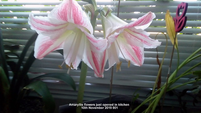 Amaryllis flowers just opened in kitchen 10th November 2019 001