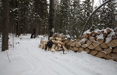 The wood pile prepared in the forest waiting to be chopped and transported to the house