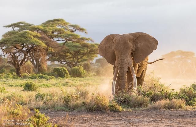 African Elephant - Loxidonta africana