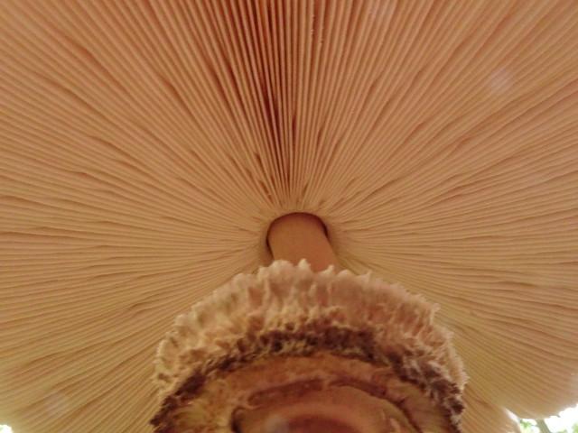 Macrolepiota procera (9)
