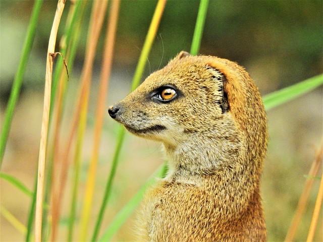 Meerkat /  Erdmännchen