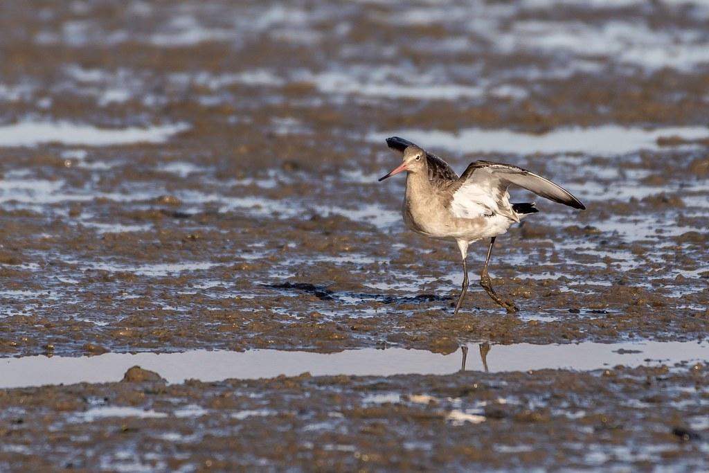 Black-tailed Godwit. Muddy Manningtree estuary.