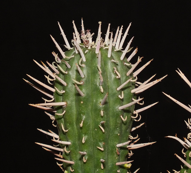 Euphorbia inconstantia