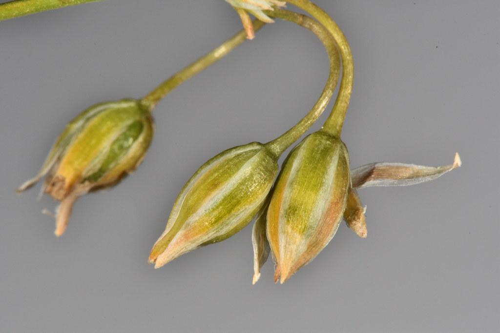 異蕊草的果實成熟前,宿存花被包覆果實。圖片來源:王偉聿