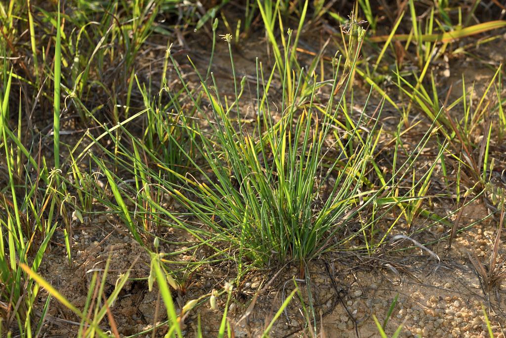 異蕊草的葉基生,呈細長的線形,葉身圓滑,先端銳尖如長針,其形態與燈心草、蔥屬、禾本科及莎草科等植物都十分相似。圖片來源:王偉聿
