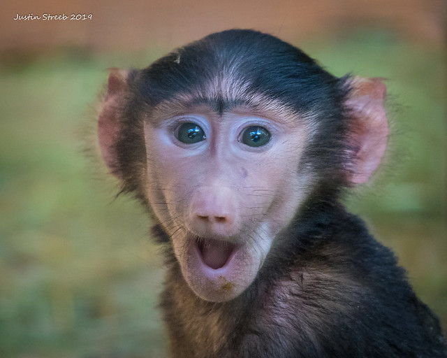 Surprised Baby Monkey