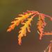 Acer Veins