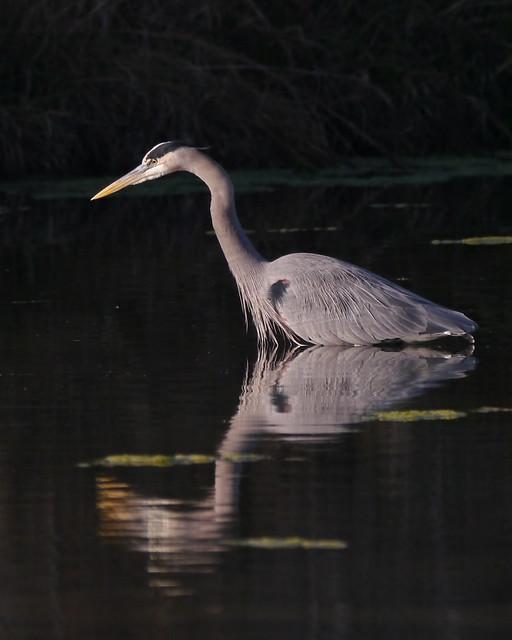 Great Blue Heron - 1 - 1