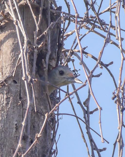 Red-bellied Woodpecker - 1 - 2