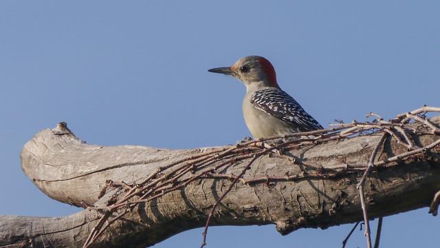 Red-bellied Woodpecker - 1 - 3