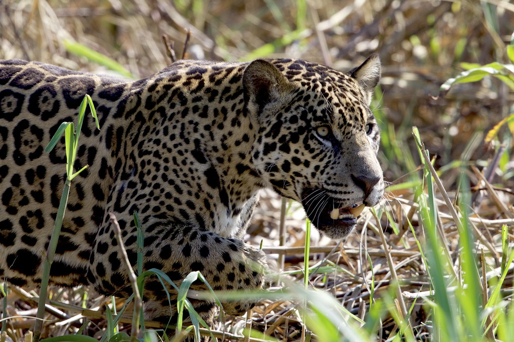 A Jaguar (Panthera onca), showing its impressive canines, moves silently along the river bank