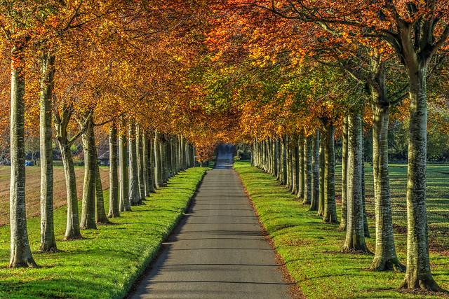 Avenue of Beech Trees at Moor Crichel, Dorset