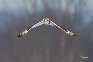 Short-eared owl-Shawangunk Grasslands NWR-12-8-19-4