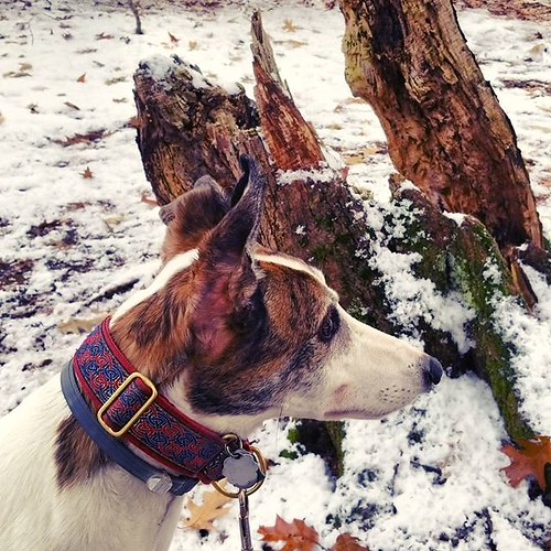 The Dee-oh-gee is interested in something #Cane #dogsofinstagram #greyhound #greyhoundsofinstagram #ChestnutRidge #wny #orchardpark #hiking #trees #nature