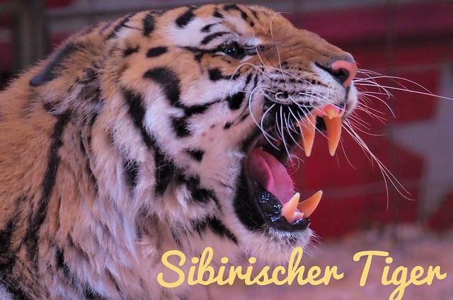 Sibirischer Tiger von Sascha Prehn beim Zirkus Manuel Weisheit im November 2019 -              English: Siberian Tiger in the Circus Show Manuel Weisheit in Germany with Tiger Trainer Sascha Prehn.
