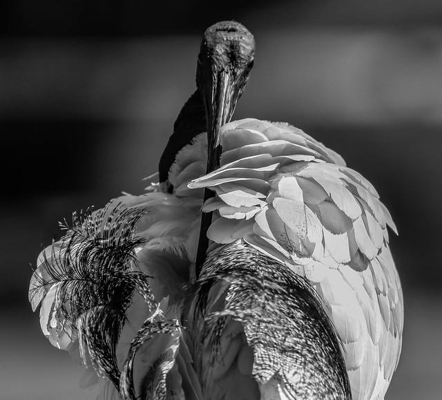 Ibis  Preening