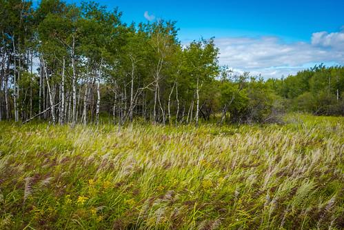 assiniboine forest grass landscape winnipeg ウィニペグ マニトバ州 manitoba canada カナダ 8月 八月 葉月 hachigatsu hazuki leafmonth 2019 reiwa summer august