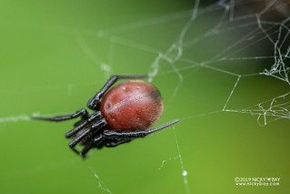 Comb-footed spider (Steatoda sp.) - DSC_1939
