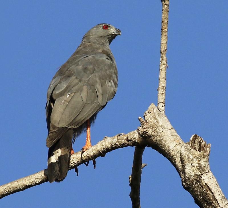 Crane Hawk_Geranospiza caerulescens_Ascanio_Guyana_199A7842 copy