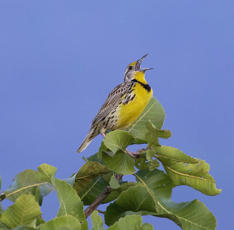 Eastern Meadowlark_Sturnella magna_Ascanio_Guyana_199A7137