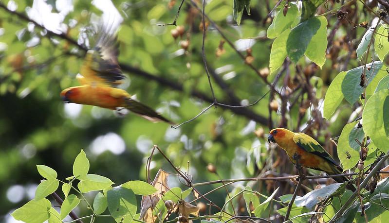 Sun Parakeet_Aratinga solstitialis_Guyana_Ascanio_ 199A7056