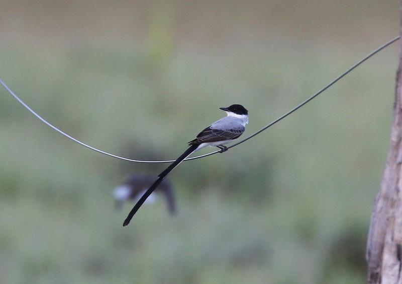 Fork-tailed Flycatcher_Tyrannus savanna_Guyana_Ascanio_199A7112