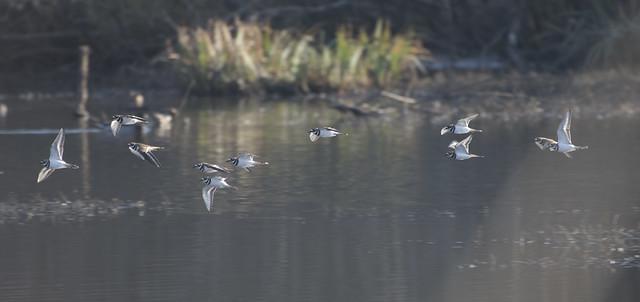 Flocking killdeer