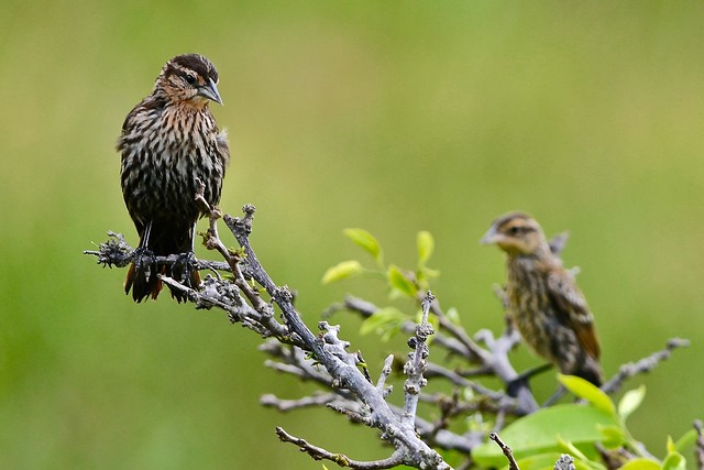 Female Red-Winged Blackbirds