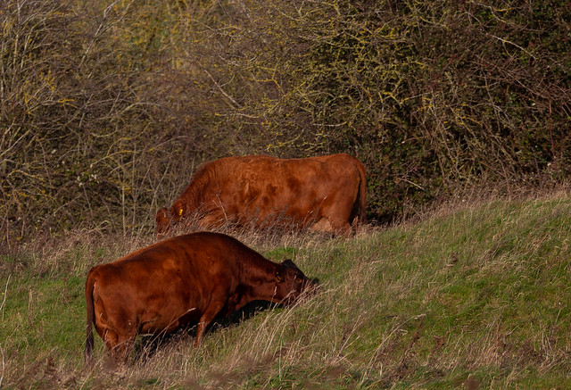 Cows at Brill, a small herd of Dexters that are used to graze Brill Common and keep it in good condition.