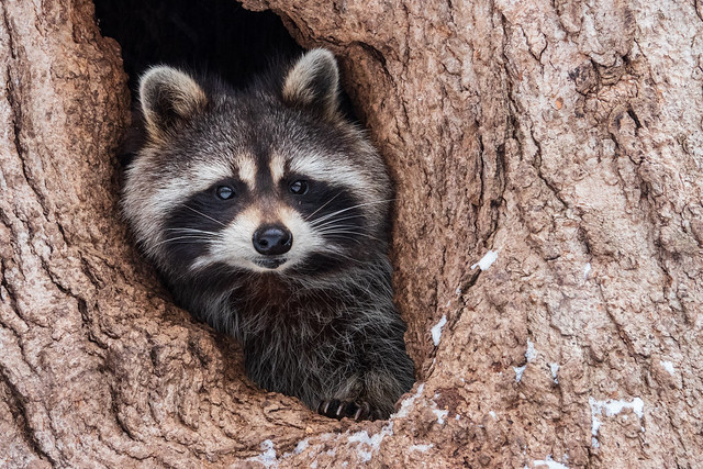 Raton laveur/raccoon