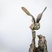 REd Morph Screech Owl, CRC 1-535.jpg