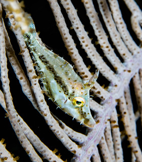 20_PC060073 slender filefish