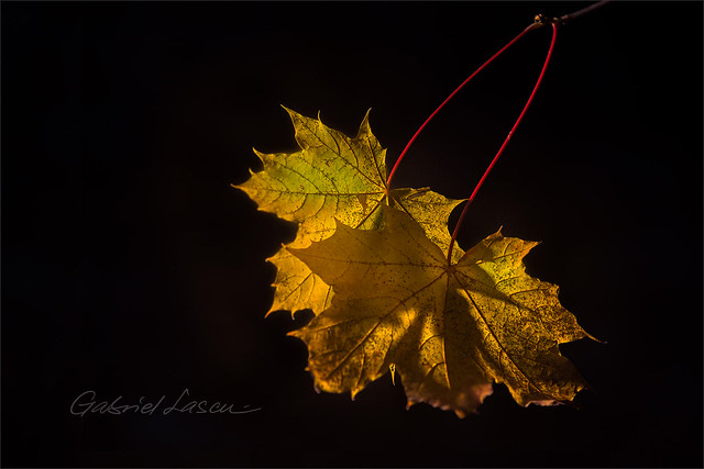Twin Leaves