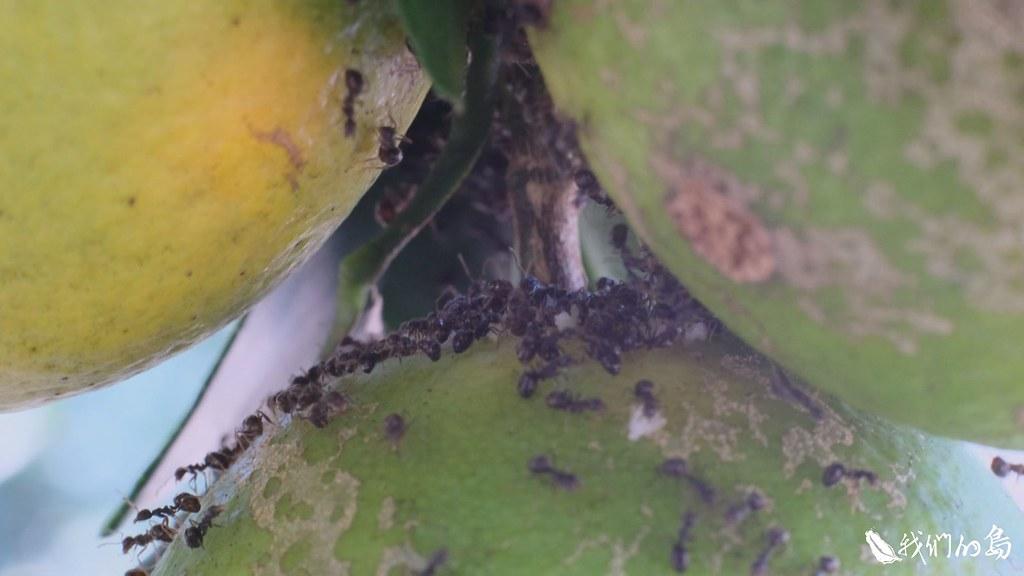 近年來,西湖柚農在田間農忙、採收時,都會遇到一種黑色的琉璃蟻。