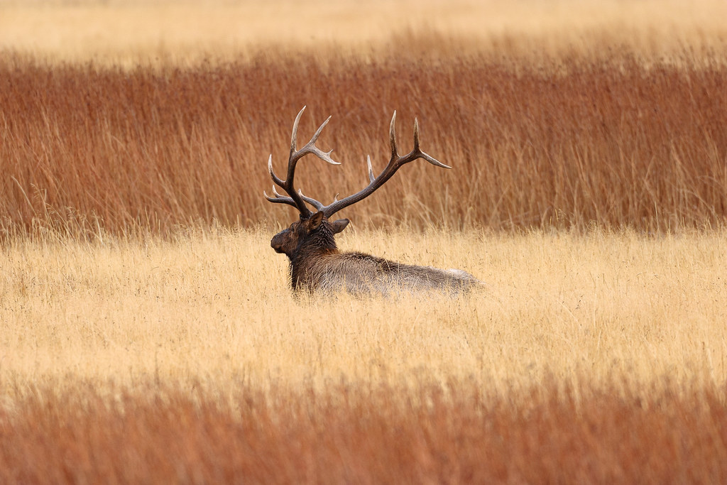 A bull elk lays down on a rainy afternoon in the Madison area of Yellowstone National Park in Wyoming in October 2006