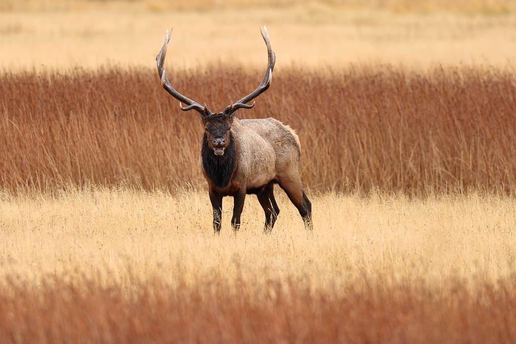 A bull elk calls out while looking directly at me on a rainy afternoon in the Madison area of Yellowstone National Park in Wyoming in October 2006