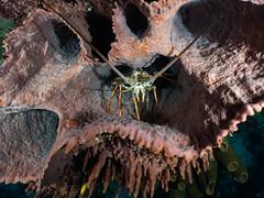 18_PC040040 lobster hiding out in sponge!