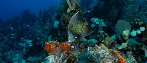 17_PC030119 french angelfish